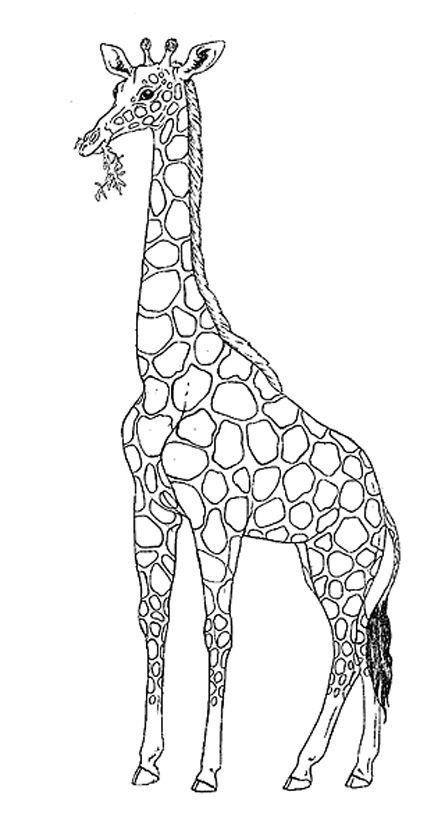 Картинка жирафа для срисовки, жизнь