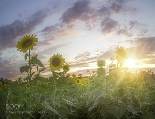 Sunflowers at Sunset by SnowGlobalImages  sunrise sunset flower sun summer dawn cloud america ray farm dusk beams united states sunflowers 201