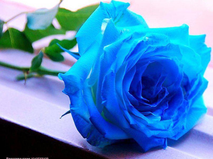 Imagenes De Lindas Rosas Azules Para Compartir En Facebook Rosas