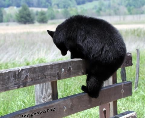 What Does This Bear Find Across The Fence Yourcabin Com Bear