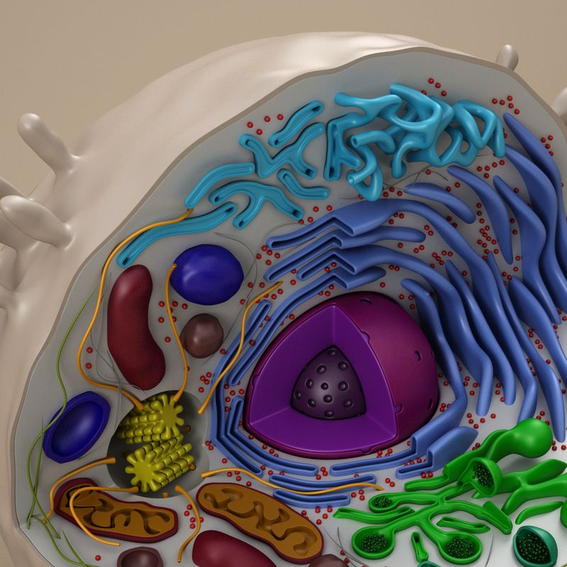 cell animal 3d model | Animal cell project, Animal cell ...
