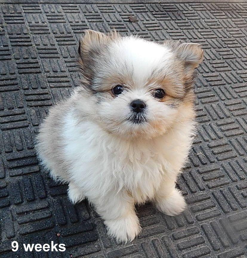 Shih Tzu Pomeranian Mix 9 Weeks Old Shihtzumix Shih Tzu
