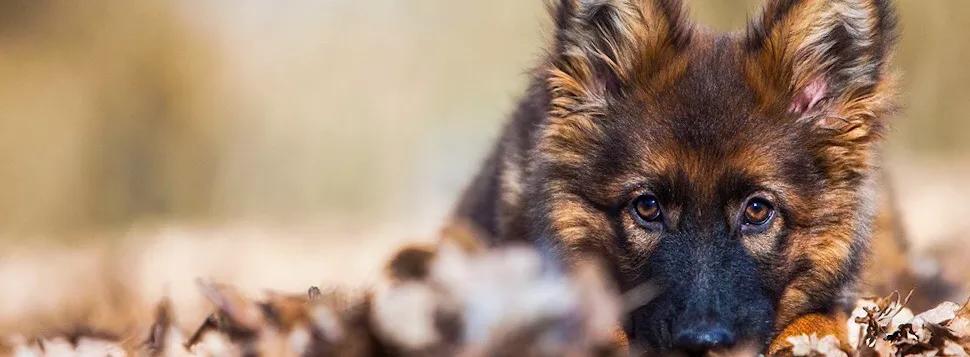 Akc German Shepherd Puppies For Sale Working Line Show Line German Shepherd Puppies Akc German Shepherd Puppies For Sale