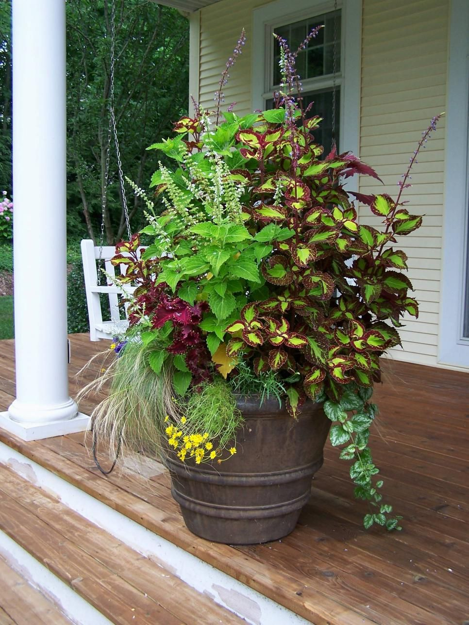 Several varieties of coleus Mexican feather grass