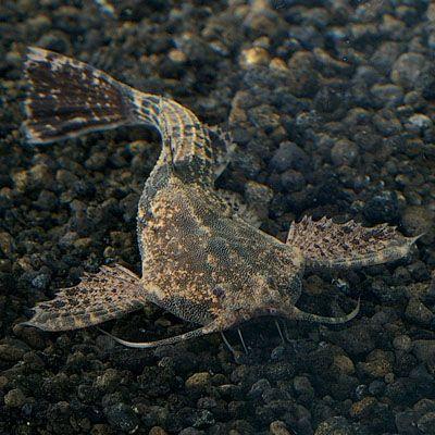 Banjo Catfish Live Freshwater Catfish For Sale Online Petsolutions Freshwater Catfish Community Fish Tank Aquarium Fish