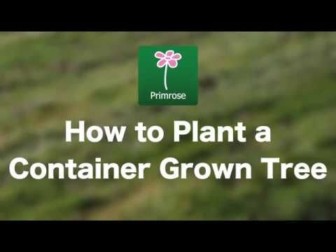 Read Our Guide On Planting Both Bare Root And Containerised Cherry Blossom Trees We Recommend You Water Your Tree Regularly After Pla Growing Tree Plants Tree