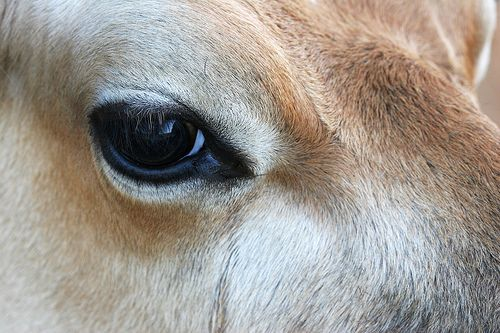 Cow Eyed Cow Eyes Miniature Cow Breeds Farm Animals