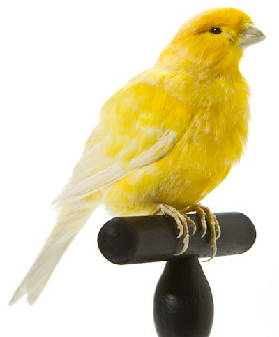 Canary Bright Yellow White With Images Canary Birds Birds