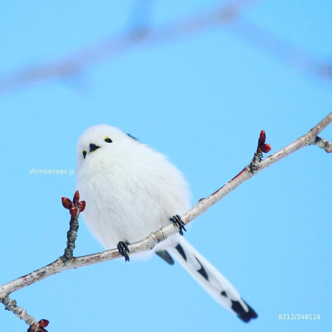 シマエナガ #鳥 #北海道 #かわいい #longtailedtit #bird #birb ...