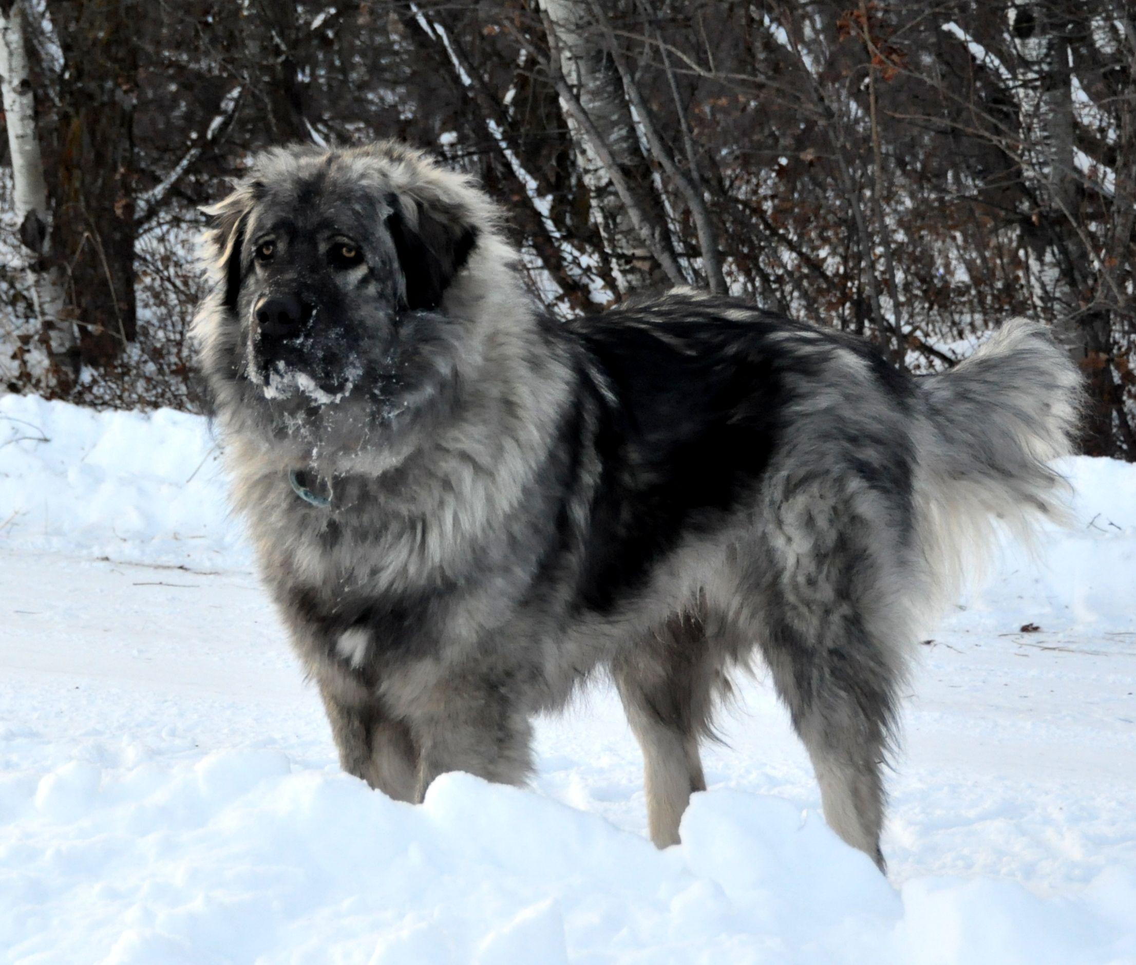 sarplaninac yugoslavian shepherd lgd animals