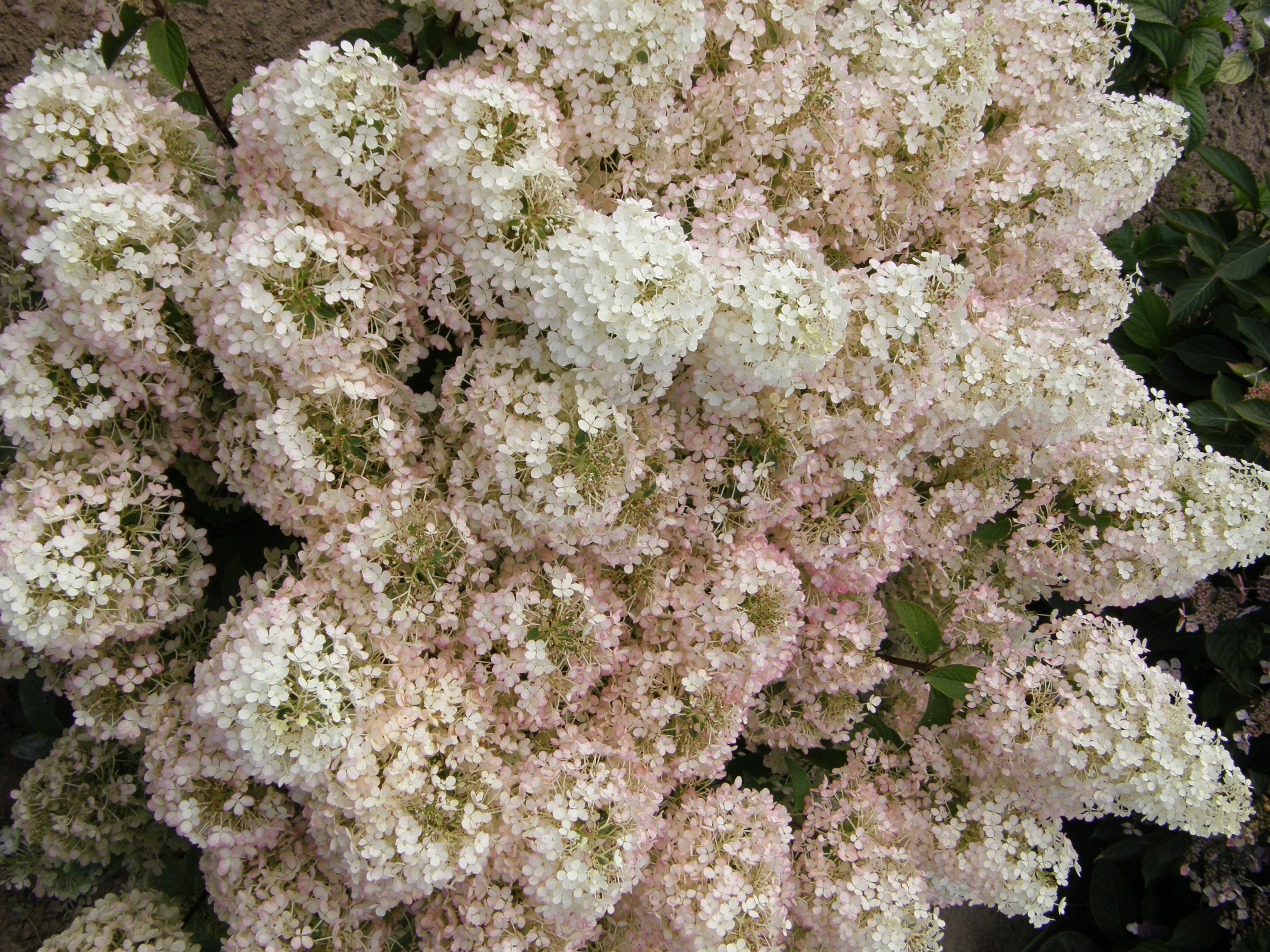 New dwarf variety, Bobo® Hardy Hydrangea - Monrovia - Zones 3-9, 3ft tall & wide, creamy white flowers that may turn pink in fall, blooms until the first frost.