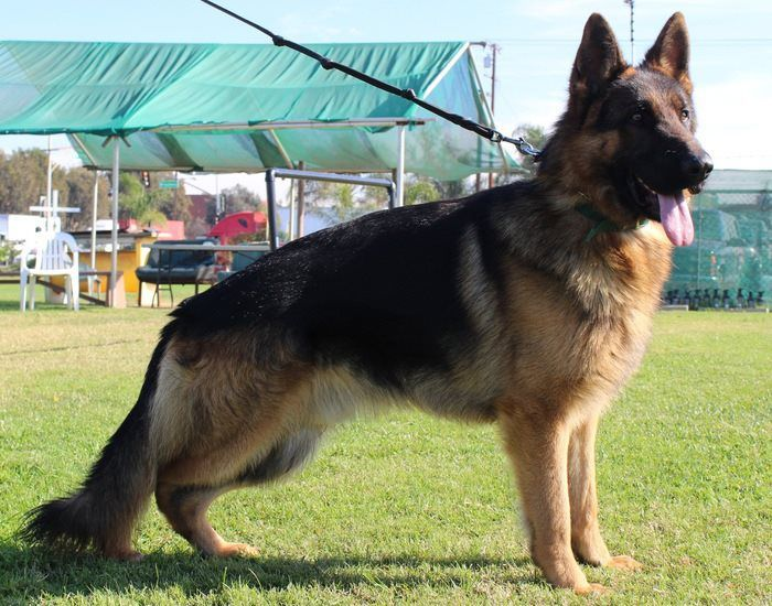 Protection Dog Fro Sale Http Www Germank9expert Com Protection