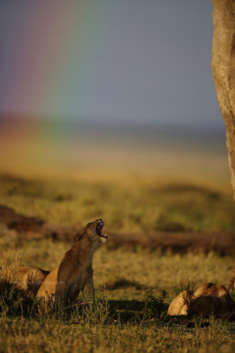 Rainbow Lion by Shivang Mehta on 500px