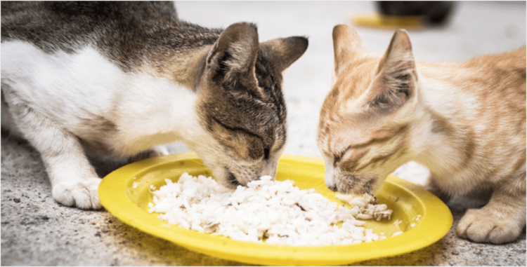 Is It Safe For Your Cat To Eat Rice? Cat aesthetic, Cats