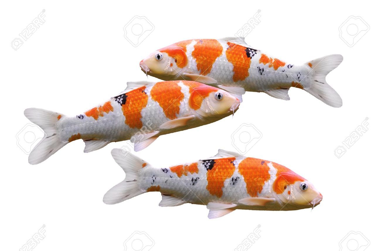 13765076 carp fish koi fish isolated on white background for Carpe koi aquarium 300 litres
