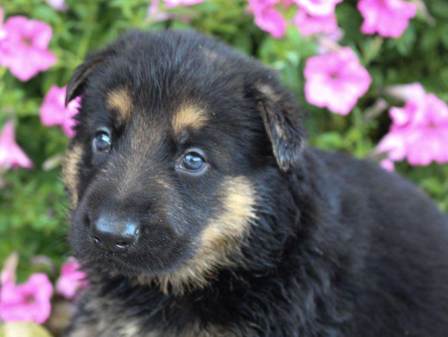 Mark Puppy German Shepherds For Sale Near Fort Wayne Indiana