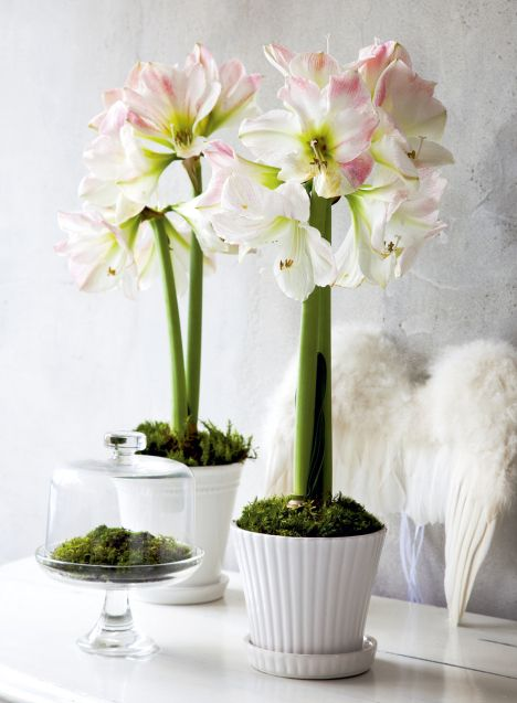 Amaryllis ... in my home ... NEXT Christmas.  FOR SURE. http://www.kodinkuvalehti.fi/files/images/articles/138/1352813660_468x0_joulu_amaryllis.jpg
