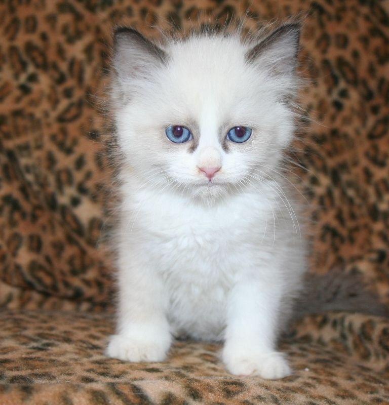 Image4 Seal Bi Color 768x800 Ragdoll Kittens For Sale Ragdoll
