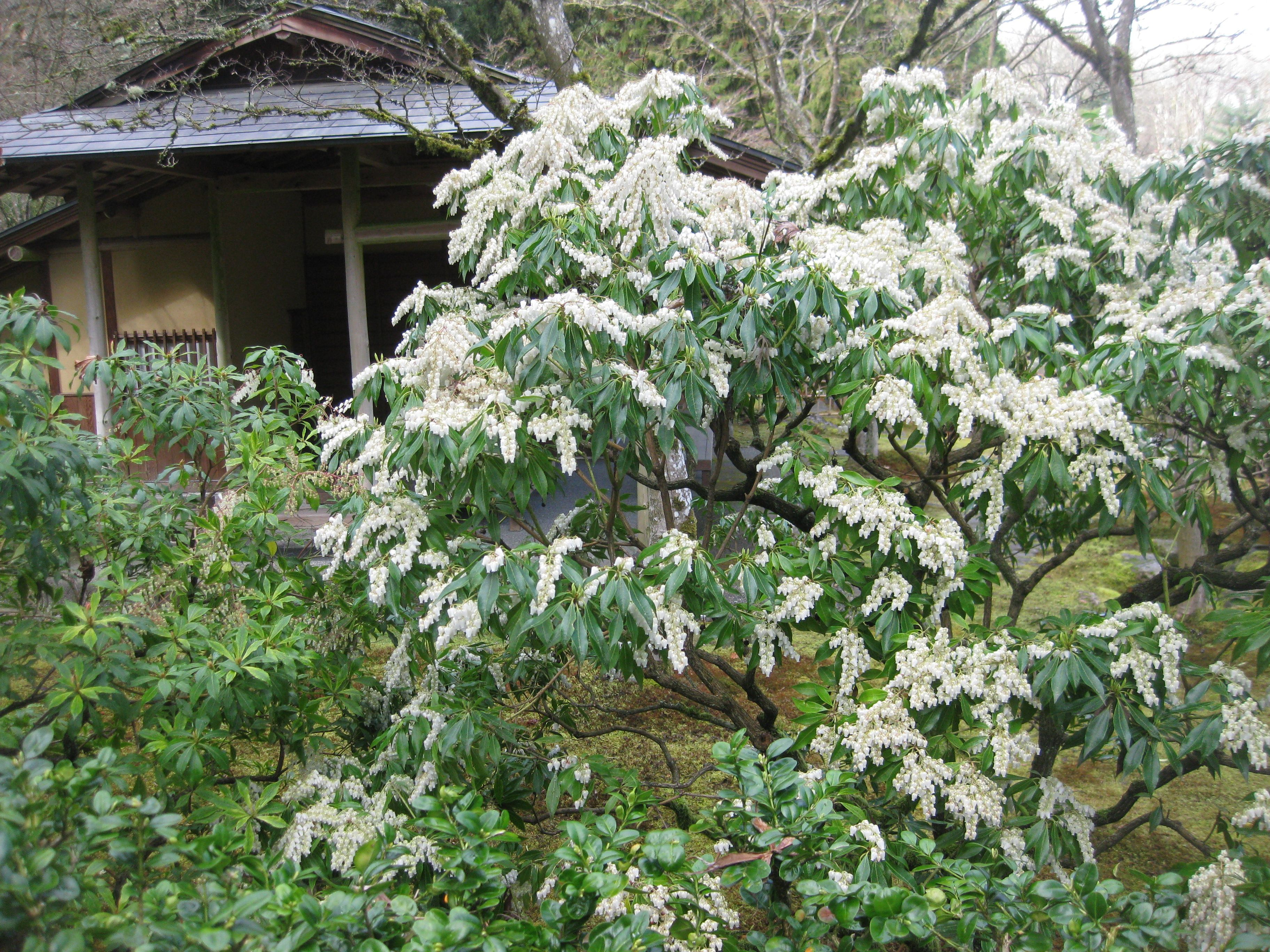 Pieris Japonica Lily Of The Valley Shrub An Attractive Small Shrub