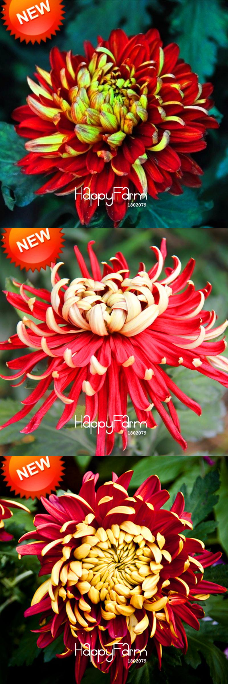 Visit to buy promotion seedsbag rare bicolor red yellow