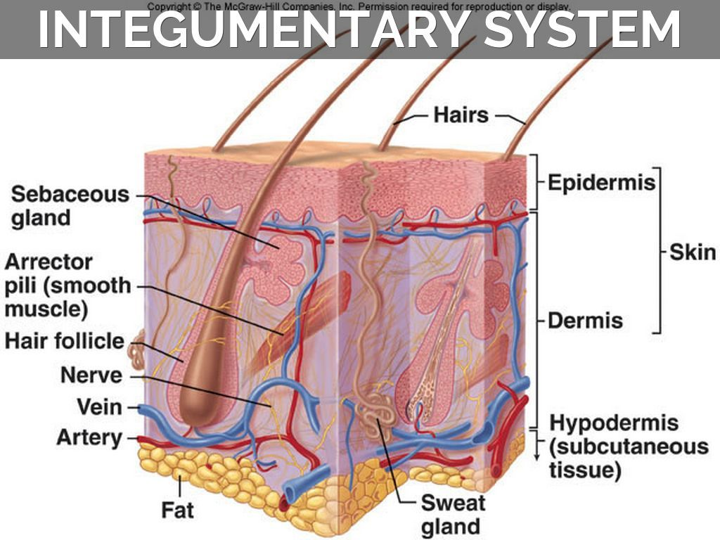 lecture 7 integumentary system 28 images image gallery epidermis function gallery integumentary system functions anatomy diagram integumentary system  [ 1024 x 768 Pixel ]