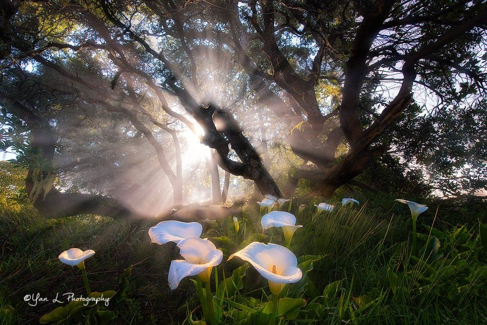 Calla Lily in the Morning Sun by Yan L on 500px