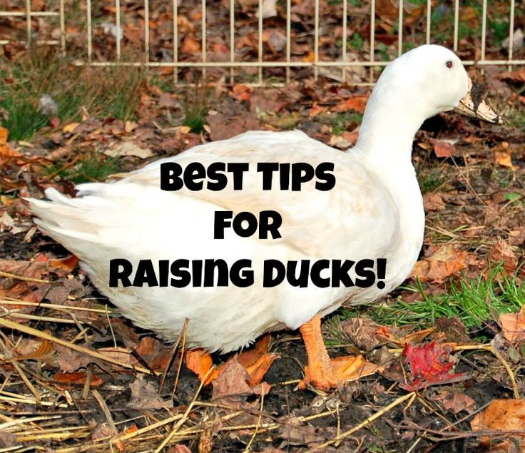 9 Best Tips For Keeping Ducks Happy And