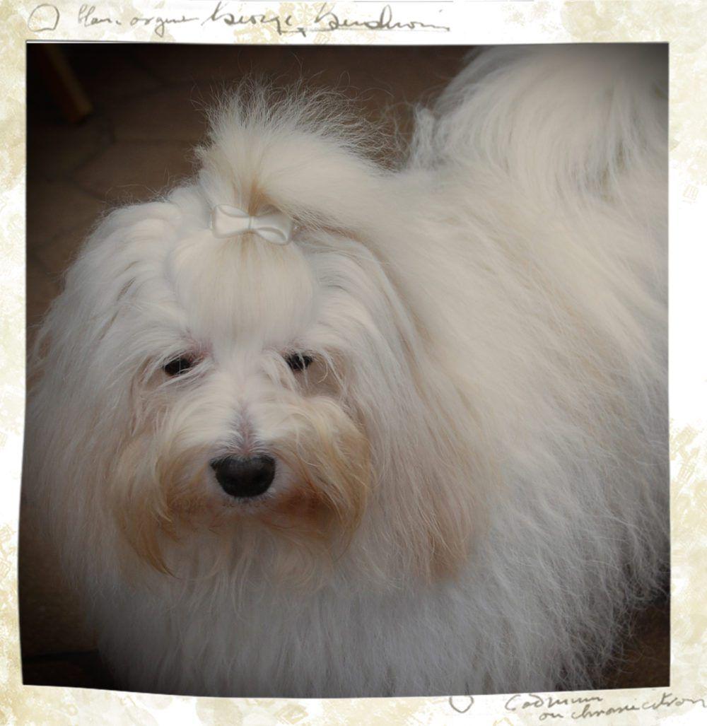 Lady vom Allgäuer Gipfelstürmer Malteser hund, Hunde, Lady