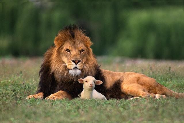 Image result for lion lies down with the lamb