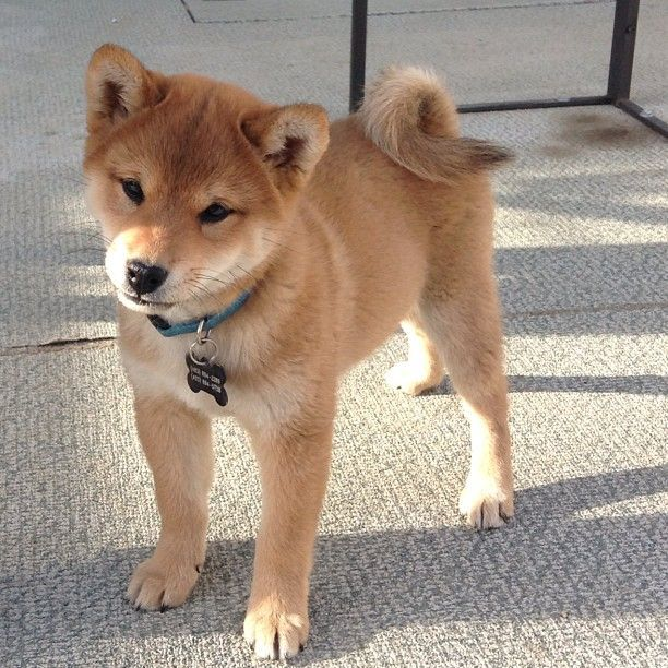 There is nothing on this earth better than a Shiba Inu