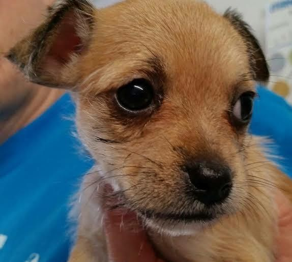 Adopt Leah On Chihuahua Mix Animal Rescue Animals