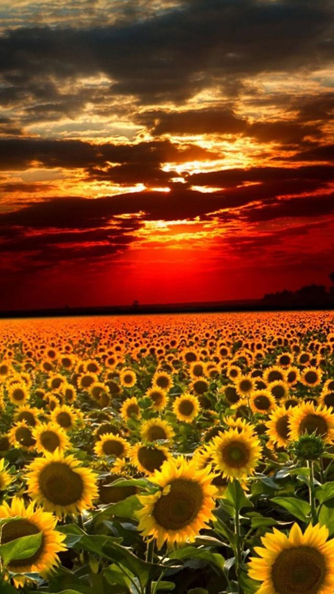 Nature Sunflower Field Flori