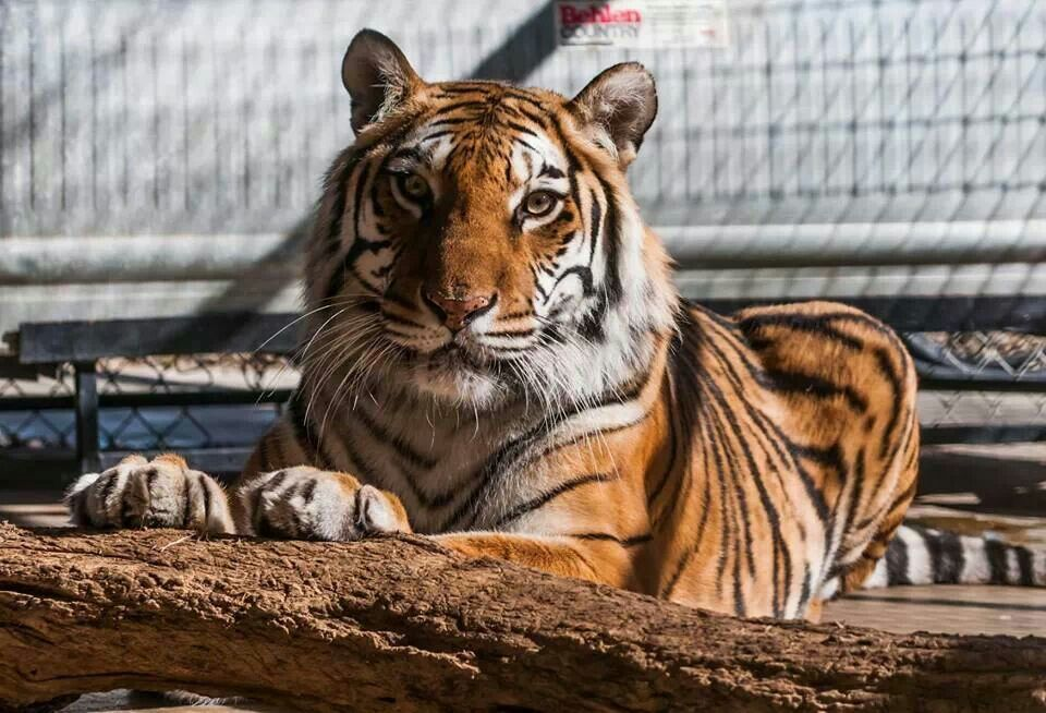 Iona, the most beautiful tiger that has ever lived  At In