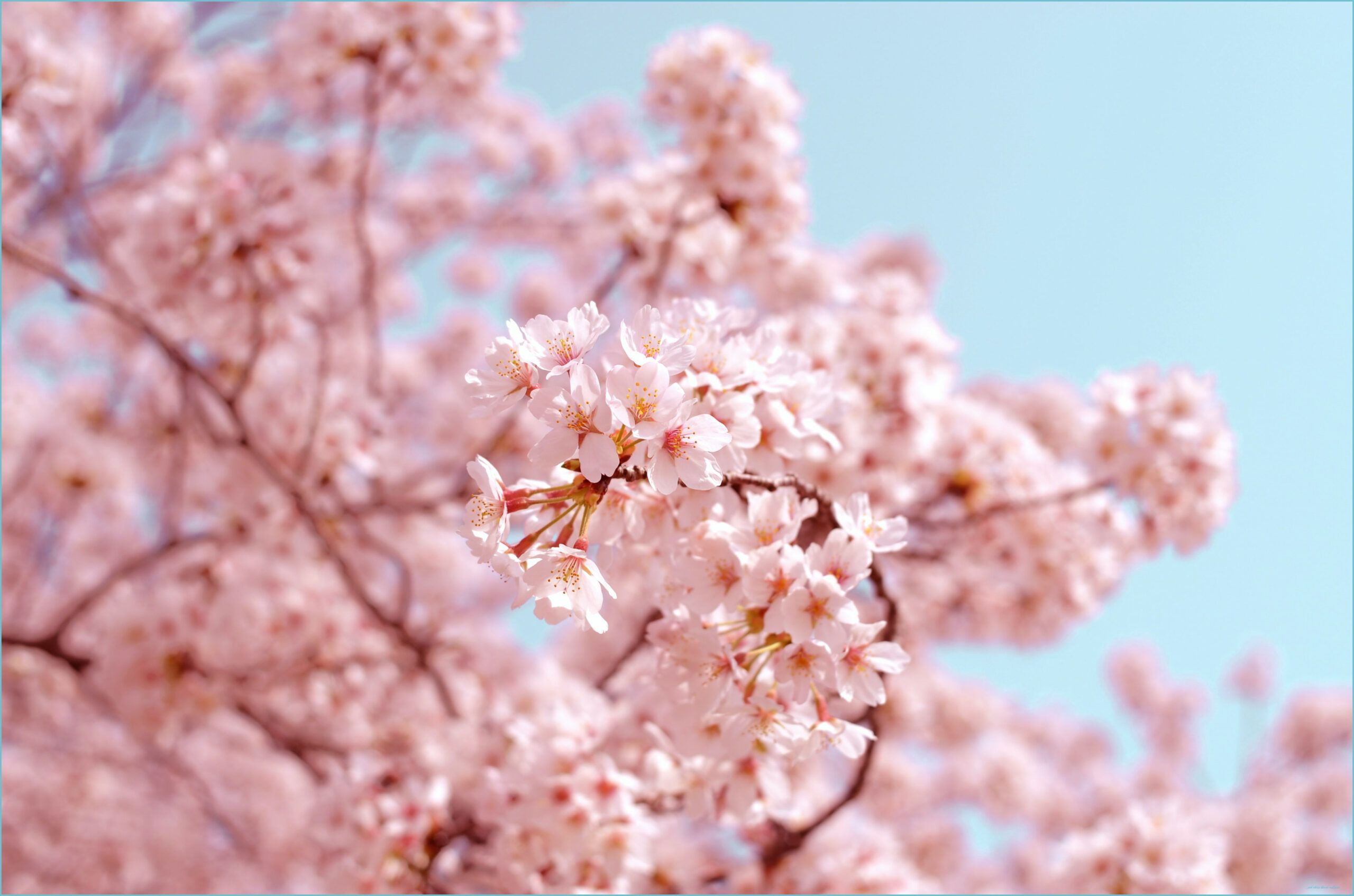 10 Solid Evidences Attending Pink Cherry Blossom Wallpaper Is Good For Your Career Development Pink Che Sakura Flower Cherry Blossom Wallpaper Cherry Blossom