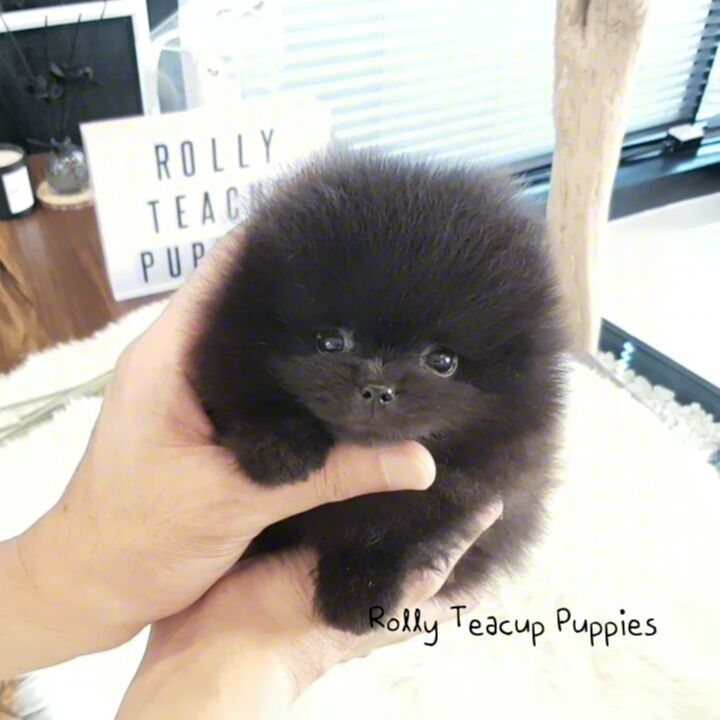 Pomeranian Dogs Rolly Pups Inc At Rollyteacuppuppies On Instagram