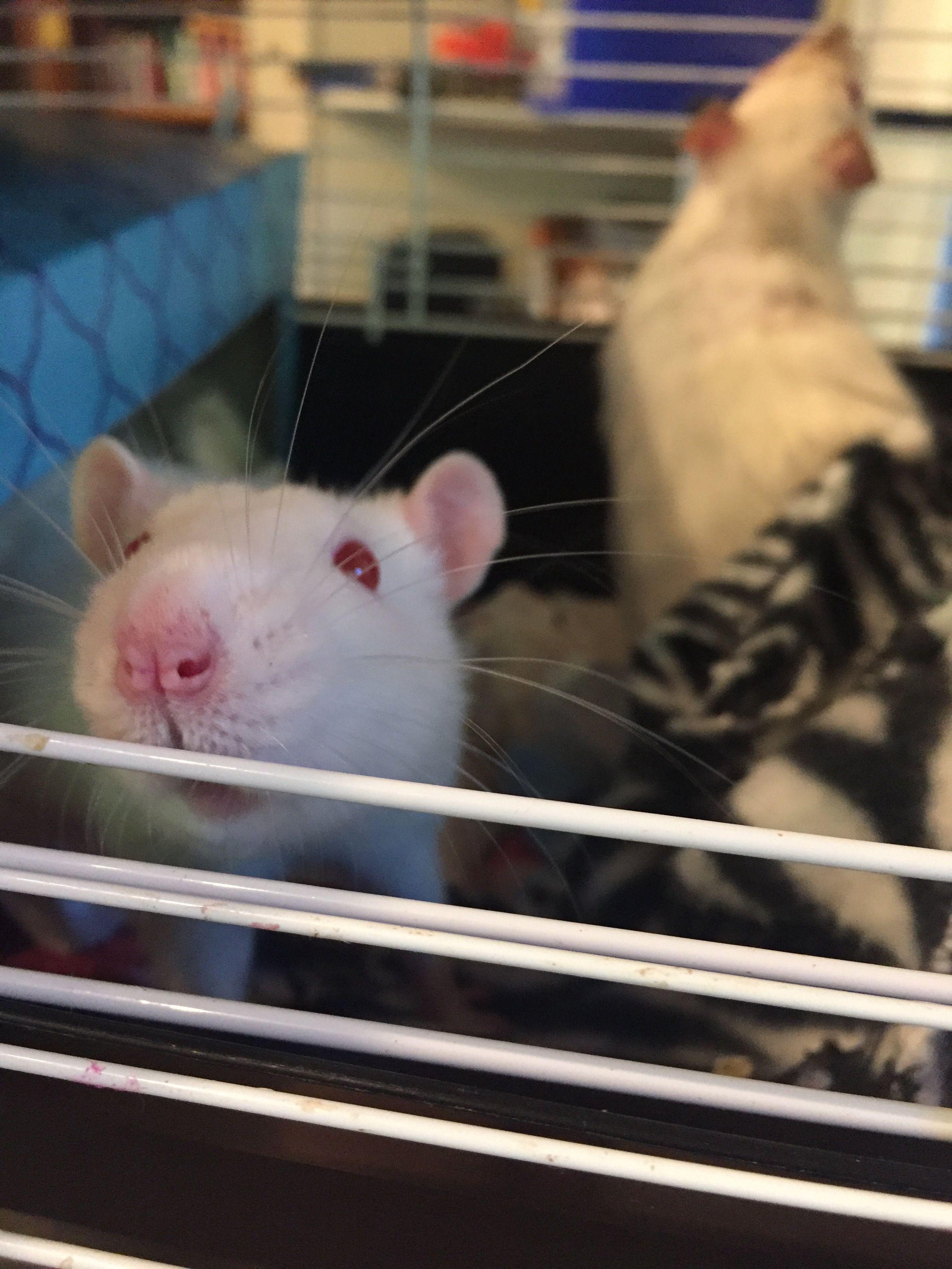 Rattie
