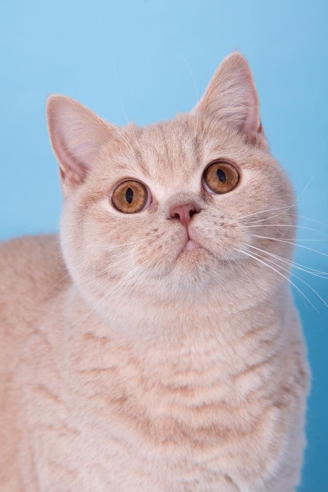 Our Girls Neuter British Shorthair British Shorthair Cats Pets