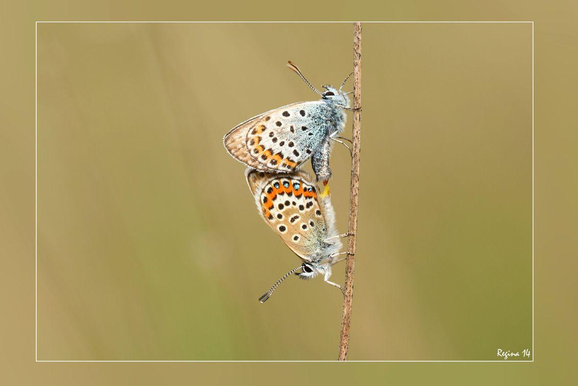 Heide blauwtjes, gefotografeerd door Regina op Zoomdag Heino