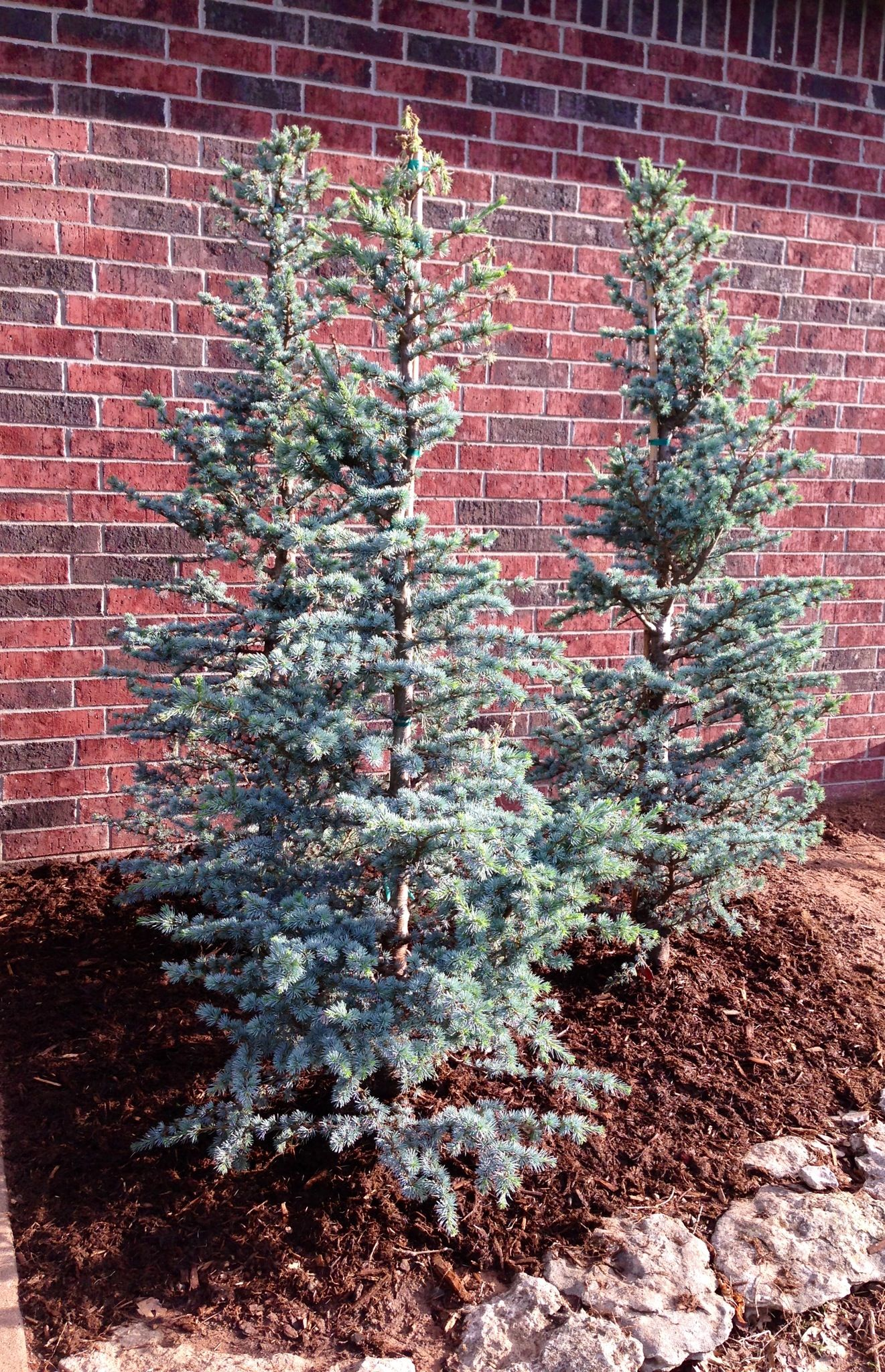 Horstman blue atlas cedars great for flower beds for Great bushes for landscaping