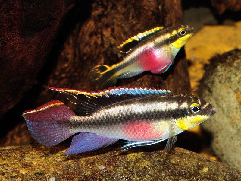 Pair Kribensis Cichlid Live Freshwater Aquarium Fish 1 Pair Of Kribensis Cichlid Male And Fema Freshwater Aquarium Fish Aquarium Fish Tropical Fish Aquarium