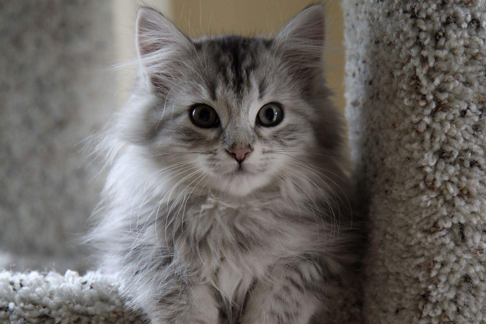 gray kitty cats Grey Siberian Cat