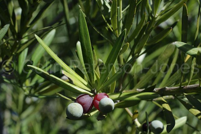 Yellowwood tree fruit