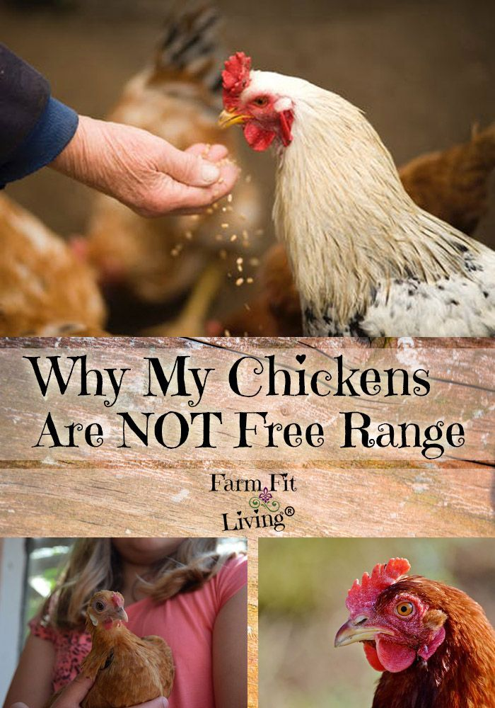 3 Reasons Why My Chickens are NOT Free Range   Chickens ...