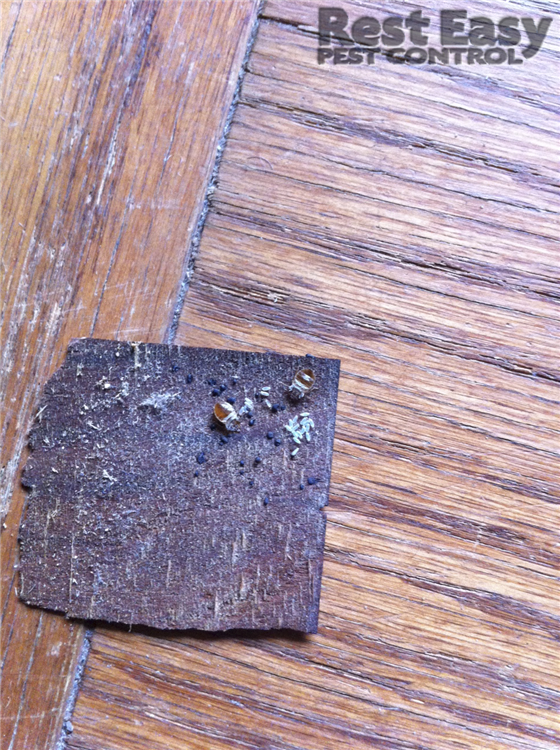 Bed Bug Staining And Eggs On Piece Of Furniture Bed Bugs