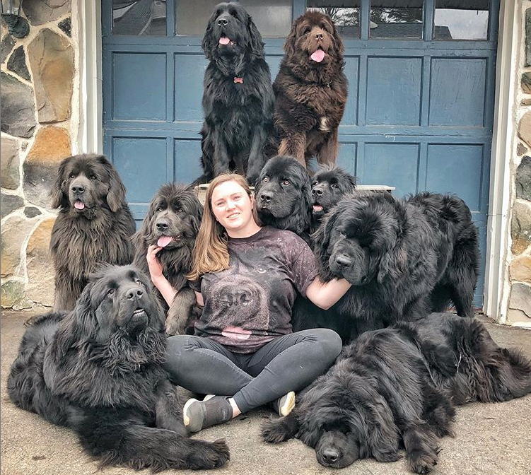 Pennsylvania Dog Mom Has A House Filled With 9 Fluffy Newfoundlands And They U0027re On Their Way To Being Therapy Fluffy Dogs Newfoundland Puppies Huge Dogs