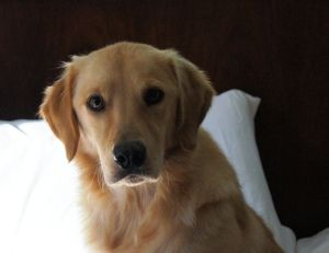Adopt Riley On Dogs Golden Retriever Golden Retriever Rescue Dogs