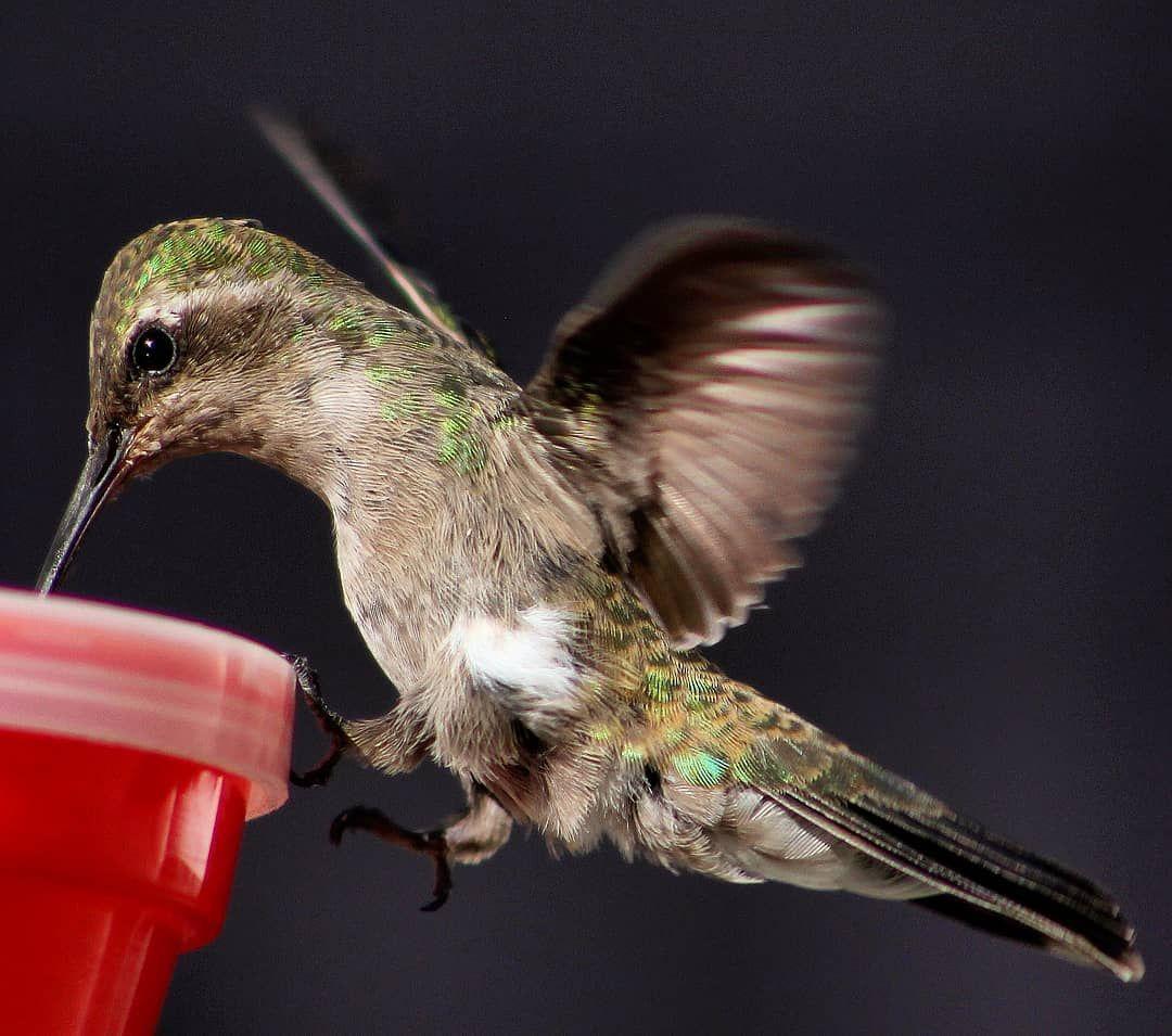 Hummingbird hummingbird feeding animal bird