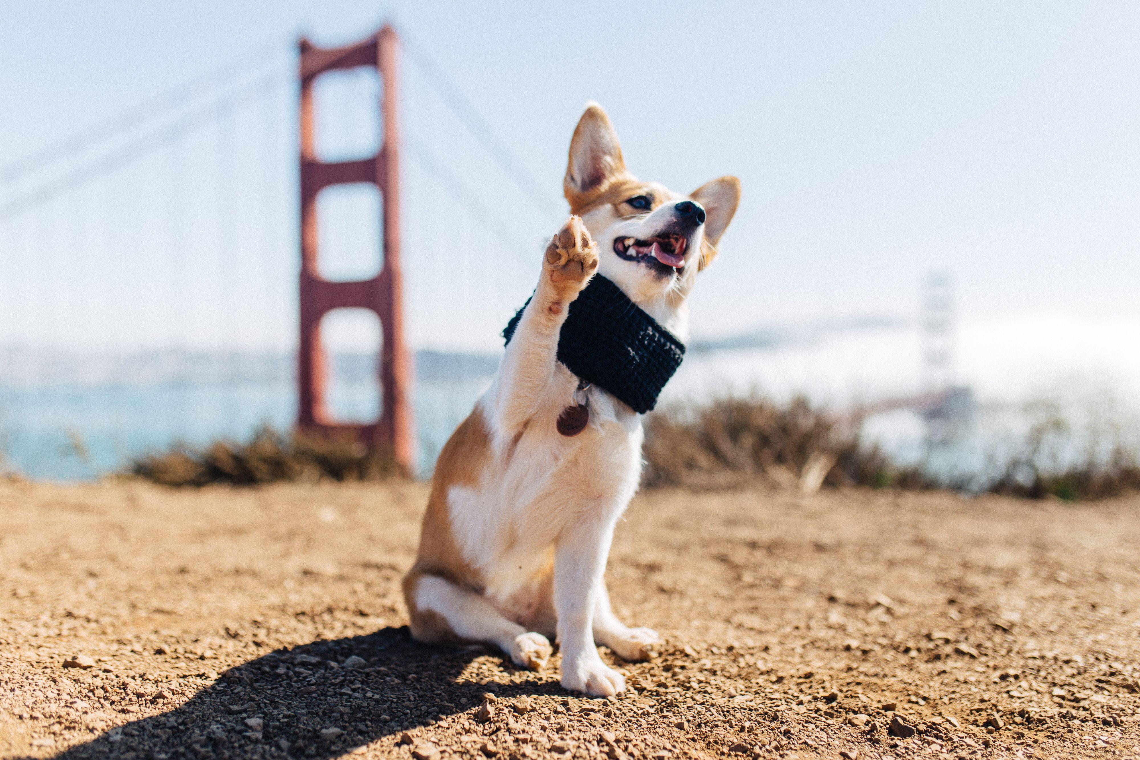 Golden Gate Bridge San Francisco California Photoshoot Dog Photos