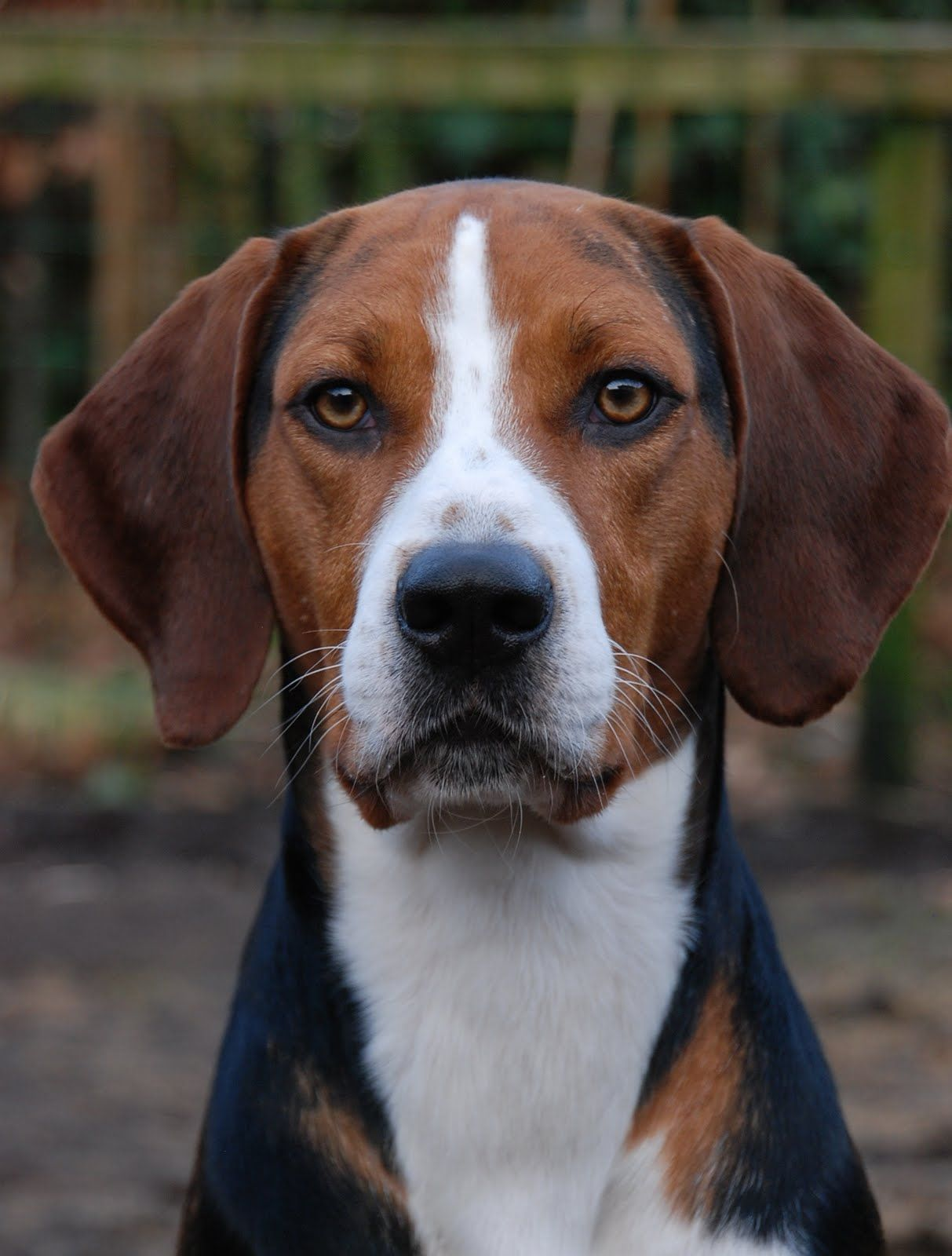Hamilton Hound Dog Breeds Hound Dog Breeds American Foxhound