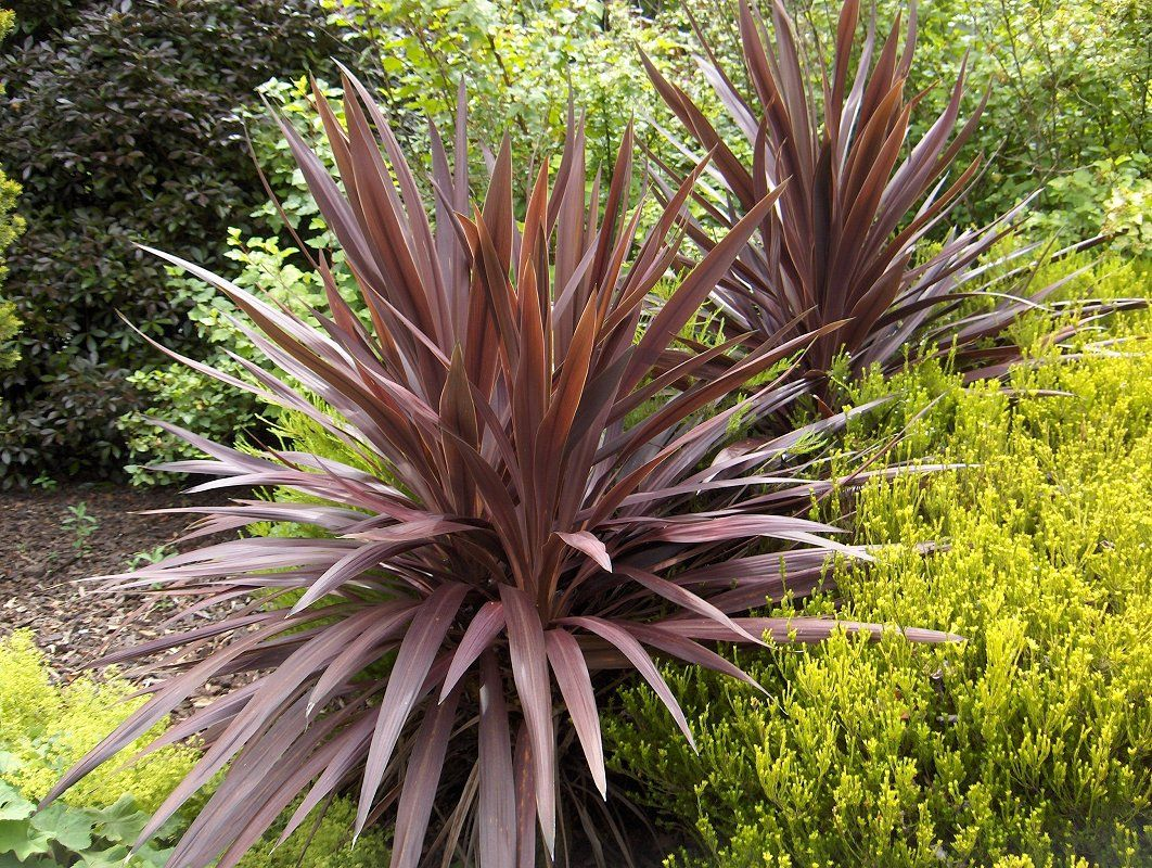 Cordyline 39 purple tower 39 photo cordylines are often for New garden plants